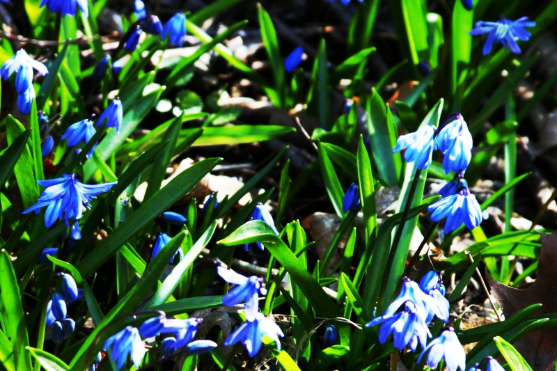 Blue Spring Flowers    (click for previous picture)