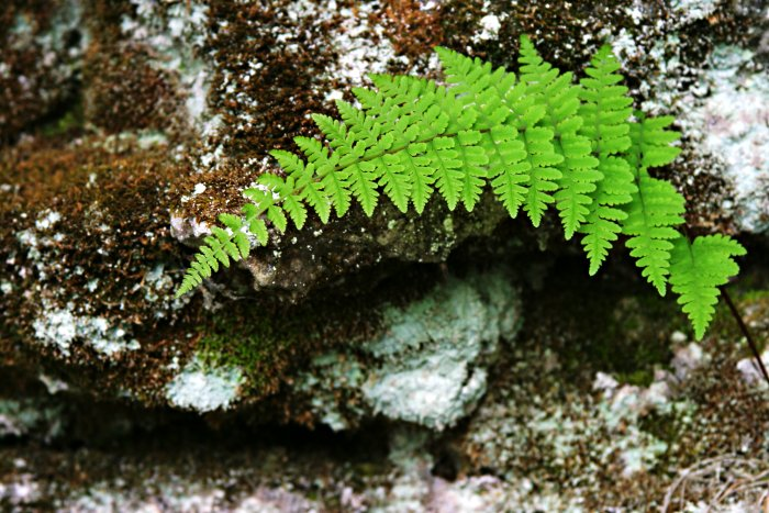 Bruce Trail Fern    (click for previous picture)