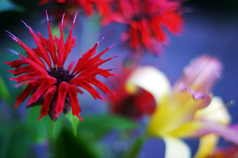Cottage Flowers: Bee Balm    (click for previous picture)