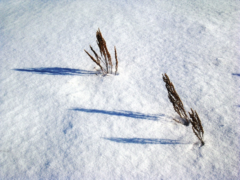 Snowy Grass    (click for previous picture)