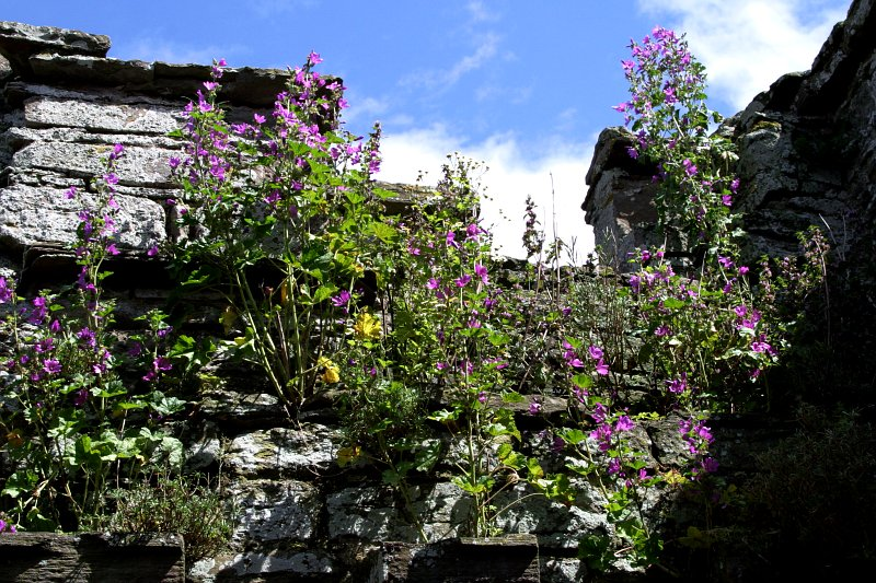 Ludlow Castle flowers    (click for previous picture)