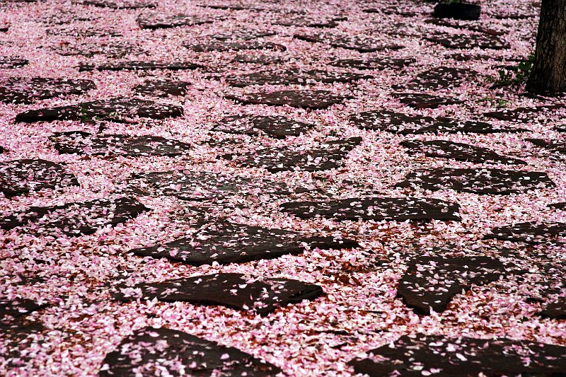 Yorkville Petals 1    (click for previous picture)