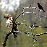 Bad Hawk