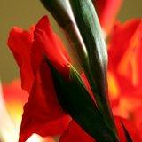 Cottage Flowers: Gladiolas